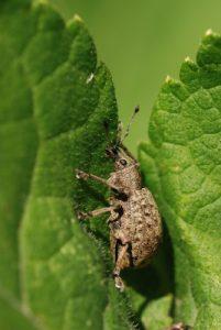 Ortiorhynque de la vigne (Otiorhynchus ligustici)<br> Forêt de Ferrières