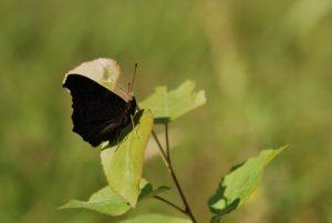 Papilllon<br> Forêt de Ferrières