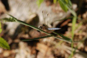 Orthétrum bleuissant mâle (Orthetrum coerulescens)<br> Forêt de Ferrières