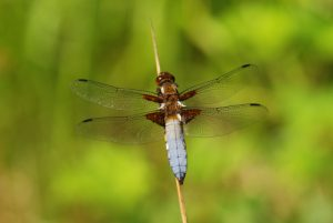 Libellule déprimée mâle (Libellula depressa)<br> Forêt de Ferrières