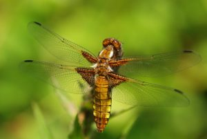 Libellule déprimée femelle (Libellula depressa)<br> Forêt de Ferrières