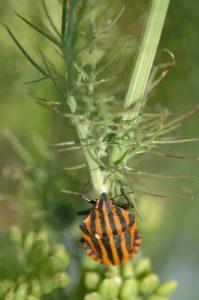 La punaise arlequin ou Pentatome rayé (Graphosoma  italicum) est un insecte hétéroptère de la famille des Pentatomidae.