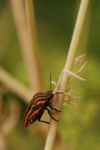 Punaise Le Pentome rayé (Graphosoma italicum)<br> --