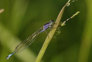 Ischnure élégante femelle immature de type A (Ischnura elegans) -  Étangs de Basse-Ham