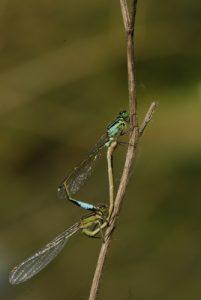 Accouplement d'Ischnures élégantes (Ischnura elegans) Étangs de Basse-Ham