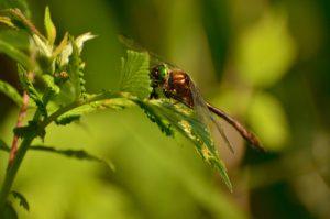 Cordulie bronzée (Cordulia aenea) [Critères d'identification : pas jaune sur le front, thorax velu et S7-S8 élargi avec abdomen en forme de massue, yeux verts vifs, corps bronzé] Étangs de Basse-Ham