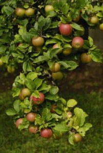 Pomme du Pommier commun (Malus domestica)