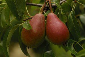 Poire du Poirier commun (Pyrus communis)