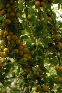 Mirabellier (Prunus domestica syriaca)