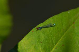 Naïade au corps vert (Erythromma viridulum)<br> Étangs de Basse-Ham