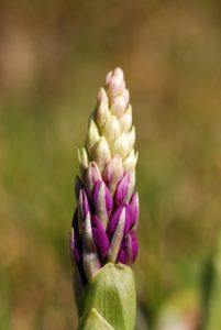 Orchis mâle (Orchis mascula)<br> Réserve Naturelle Nationale de Montenach