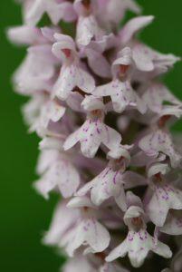 L'Orchis tacheté (Dactylorhiza maculata)<br> Réserve de Montenach
