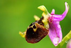 Ophrys bourdon (Ophrys fuciflora)<br> Réserve de Montenach