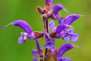 Sauge des prés (Salvia pratensis)<br> Réserve de Montenach