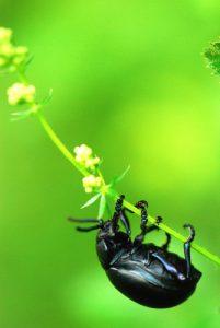 Le crache-sang, timarque ou chrysomèle noire (Timarcha tenebricosa)<br> Réserve de Montenach