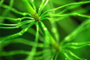 Prêle des champs (Equisetum arvense)<br> Réserve de Montenach