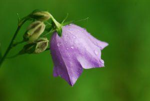 La Campanule à feuille de pêcher (Campanula persicifolia)<br> Réserve de Montenach