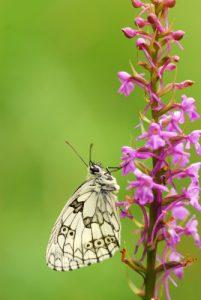 Papillon le Demi-deuil (Melanargia galathea)<br> Réserve de Montenach