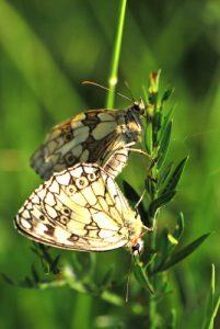 Papillon le Demi-deuil (Melanargia galathea)<br> [Critères : couleur et formes]<br> Réserve de Montenach