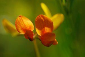 Le Lotier corniculé (Lotus corniculatus)<br> Réserve de Montenach