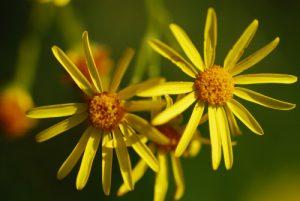Fleur<br> Réserve de Montenach