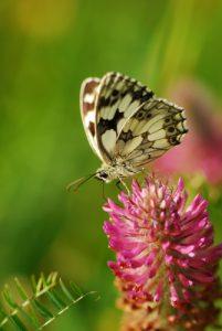 Papillon le Demi-deuil (Melanargia galathea) [Critères : couleur et formes] Réserve de Montenach
