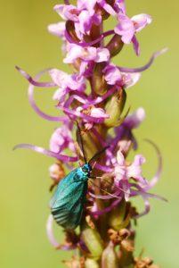 Zygène turquoise (Jordanita sp.)<br> Réserve de Montenach