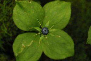 La Parisette à quatre feuilles (Paris quadrifolia)<br> Réserve de Montenach