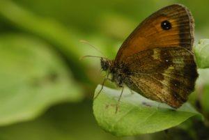 Le papillon Amaryllis (Pyronia tithonus)<br> Réserve de Montenach