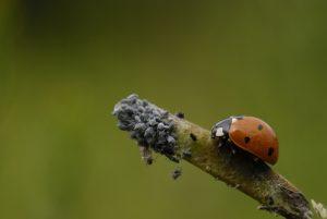 La Coccinelle a sept points (Coccinella septempunctata) s'apprêtant à dévorer des pucerons<br> Réserve Naturelle Nationale de Montenach