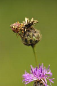 La Punaise Pentatome des baies ou pentatome des baies (Dolycoris baccarum)<br> Réserve de Montenach
