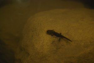 Larve de salamandre tachetée (Salamandra salamandra)<br> Réserve Naturelle Nationale de Montenach