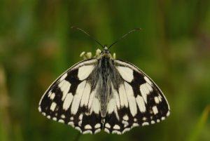 Papillon le Demi-deuil (Melanargia galathea)<br> [Critères : couleur et formes]<br> Réserve Naturelle Nationale de Montenach