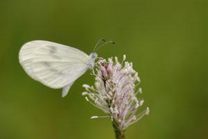 Papillon<br> Réserve Naturelle Nationale de Montenach