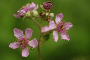 La Ronce commune, Ronce des bois ou Ronce des haies (Rubus fruticosus)<br> Réserve Naturelle Nationale de Montenach