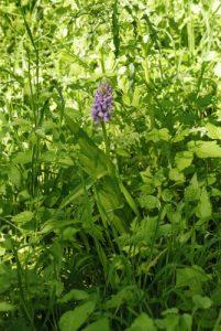 L'orchis incarnat (Dactylorhiza incarnata subsp. incarnata)<br> Réserve de Montenach