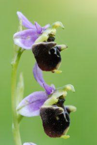 L'Ophrys bourdon ou Ophrys frelon (Ophrys fuciflora)<br> Réserve de Montenach
