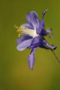 L'Ancolie commune (Aquilegia vulgaris)<br> Réserve de Montenach