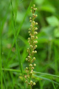 L'Orchidée Homme-pendu (Aceras antropophorum)<br> Réserve Naturelle Nationale de Montenach