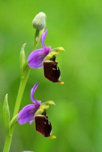 L'Ophrys bourdon ou Ophrys frelon (Ophrys fuciflora)<br> Réserve Naturelle Nationale de Montenach