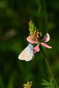 Papillon sur Sainfoin (Onobrychis viviaefolia)<br> Réserve Naturelle Nationale de Montenach