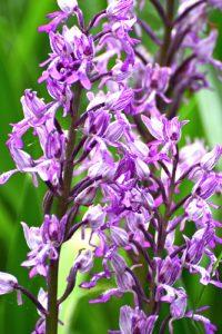 L'Orchis militaire ou guerrier (Orchis militaris)<br> Réserve Naturelle Nationale de Montenach