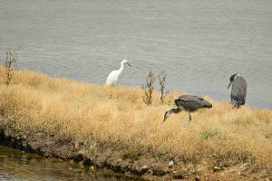 2 Hérons cendrés (Ardea cinerea) avec une Grande Aigrette (Casmerodius albus)<br> L'Espace Naturel Sensible des Marais du Duer<br>  Parc Naturel Régional du Golfe du Morbihan