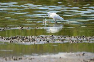 L'Aigrette garzette (Egretta garzetta)<br> Espace Naturel Sensible du Marais du Suscinio<br> Parc Naturel Régional du Golf du Morbihan
