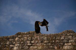 Oiseaux de la Fauconnerie de Provins<br> La Cité médiévale de Provins inscrite au patrimoine mondial de l'Unesco.