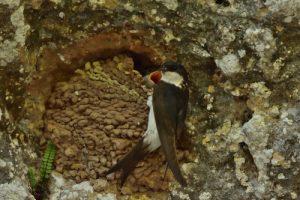 L'Hirondelle de fenêtre (Delichon urbicum) et son oisillon<br> La Roque de Saint-Christophe<br> Vallée de la rivière La Vézève<br> Réserve de Biosphère du Bassin de la Dordogne