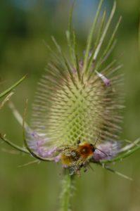 La Cardère sauvage (Dipsacus fullonum)<br> Site classé de la vallée de La Brosse et de La Gondoire