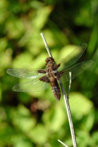 Libellule déprimée femelle mature (Libellula depressa)<br> Réserve de Marne &amp; Gondoire