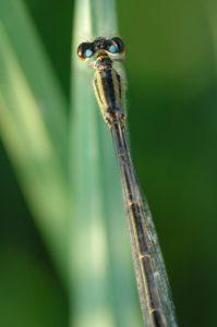 Ischnure élégant mâle (Ischnura elegans)<br> Réserve de Marne &amp; Gondoire