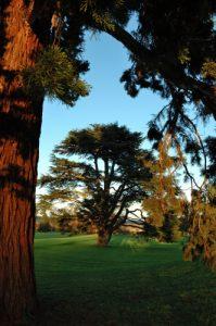 Séquoia géant (Sequoiadendron giganteum)<br> Parc du château de Rentilly<br> Site classé de la vallée de La Brosse et de La Gondoire